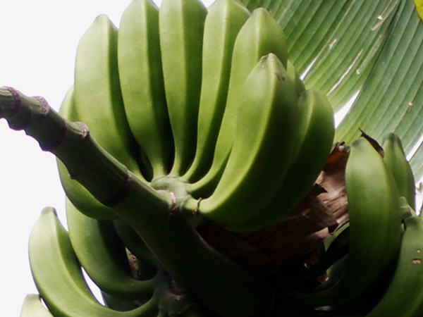 Insel Teneriffa Bananen