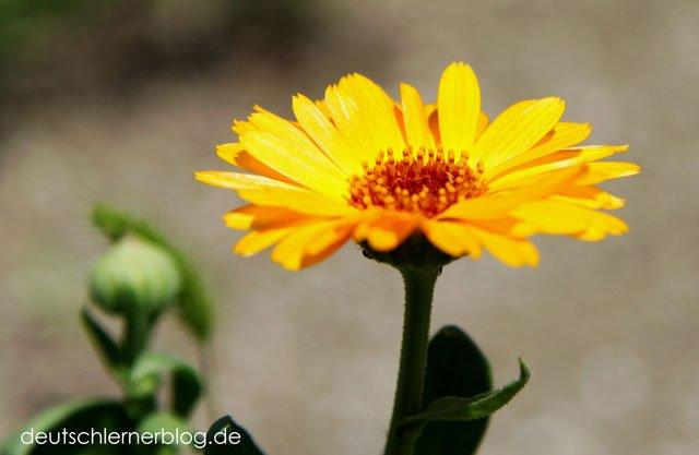 Blume - Blumen